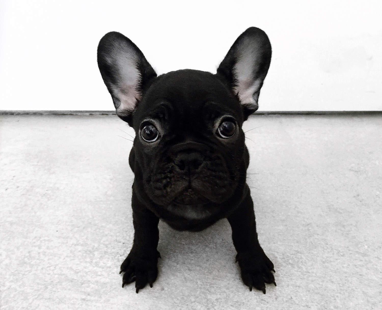 fashionlush, french bulldog, frenchie puppy